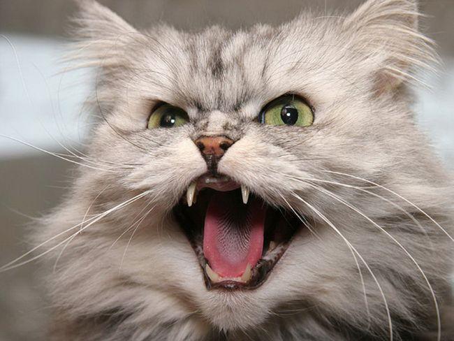Сказ у кішок: ознаки, щеплення, симптоми, вакцина