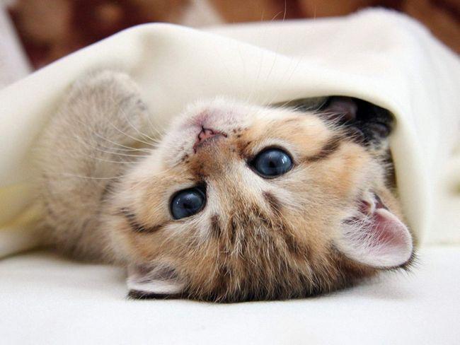 Чим лікувати пронос у кішки (кота), що робити?