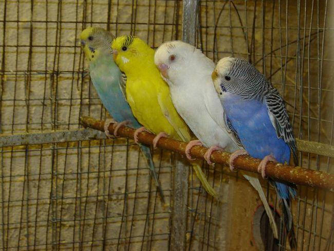Імена для папуг (хлопчиків і дівчаток). Як назвати папугу?