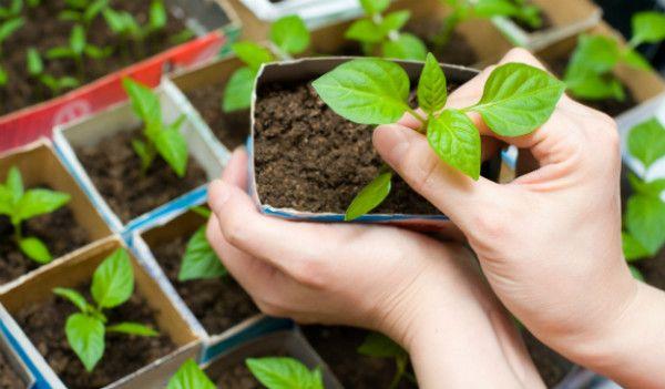 Як посадити морквину - розсада, торф'яні таблетки, добрива