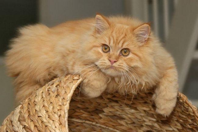 Чому у кішки випадає шерсть? (Вітаміни від випадіння)